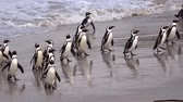 african penguin : African Penguins at Simonstown, South Africa (4K UHD) Stock Footage