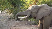 fildişi : Elephants in the African Savanna as detailed 4K UHD footage
