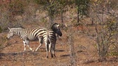 çizgili : African savannah with a herd of zebras as 4K UHD footage Stok Video