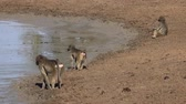 trinken : Baboons at the waterhole at Krueger National Park (South Africa) as 4K footage) Videos