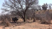 rhino poaching : White rhino (dehorned) standing under a tree at Metabos National Park, Zimbabwe (4k footage)
