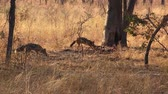 Some Jackals in the Matobos National Park (Zimbabwe) as 4k UHD footage
