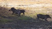 醜い : Warthogs (lat. Phacochoerus) in Hwange National Park (Zimbabwe) as 4K UHD footage 動画素材