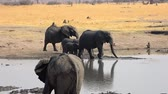 fildişi : Herd of Elephants at a waterhole in Hwange National Park, Zimbabwe (4K footage)