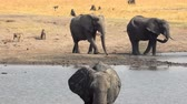 fildişi : Waterhole with a hearth of elephants (4K footage) in Hwange National Park, Zimbabwe Stok Video