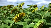 fazenda : Sunflowers on a field in the summer sun (detailed 4K UHD footage; selective focus) Stock Footage