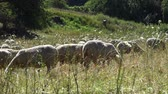 wełna : Flock of Sheeps on a meadow at a hot summer day (detailed 4K footage) Wideo