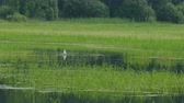 junco : Lake with green reeds and Gull bathing summer day UHD