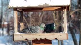 trough : Pigeons in a manger in Tsaritsyno