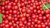 red currant : the crop of red currant