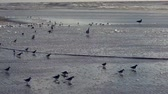 California coastline, flock of plover birds on the beach, Guadalupe Dunes National Wildlife Refuge