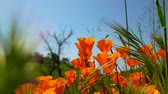 Golden Poppies on Blue Sky Background Swaying in Wind
