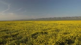 Field of yellow flowers, mountains in background.  Super bloom season in California. Carrizo Plain National Monument Stock Footage