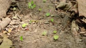 leaf cutter ants at work - ant road transporting leaves Stock Footage