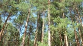 trees inside pine forest on sunny day with blue sky