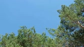ウッドランド : pine tree forest - treetops and blue skies, driving inside forest landscape