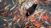 many koi fish and duck swimming in water