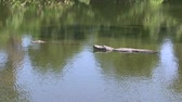 kavga : Two alligators in a swamp