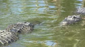 kavga : Two alligators pushing each other