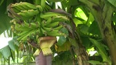 tropikal meyve : Banana tree Stok Video