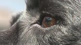 alerta : Close shot of dogs eye Stock Footage
