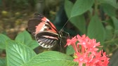 gramado : Butterfly getting nectar Stock Footage