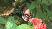 deixar : Butterfly getting nectar Stock Footage