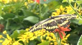 gramado : Yellow butterfly