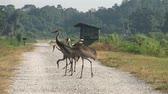 kavga : Four sandhill cranes crossing a path Stok Video
