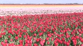 holandia : Field of multicolored tulips