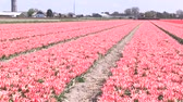 pays bas : Tulipes multicolores