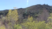 nyírfa : Los Padres National Forest in California