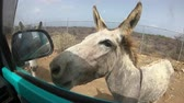 fence : Donkeys at refuge on Bonaire Stock Footage