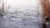 reed : river with ice floes and reed on a cold winter day Stock Footage