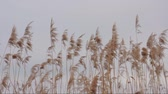 reed : reed (Phragmites australis) in the wind of a cold winter day with gray sky as background