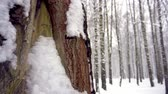 živý plot : Snowfall in s forest. Tree trunks covered with moss and wet with snow, build up of snow
