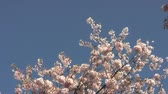 blossom : Blossom Snowflakes Fly Off Cherry Tree In Springtime