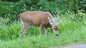 A beautiful white tailed deer quietly spends time eating grass on the edge of the forest. Stok Video