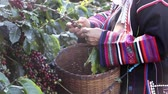 coffee cherry : Akha coffee farmer harvesting coffee beans at the coffee farm