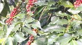 green coffee beans : red Arabica coffee beans at the plantation Stock Footage