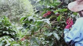 coffee farmers : coffee farmer harvesting coffee beans at the coffee farm Stock Footage