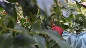 green coffee beans : coffee farmer harvesting coffee beans at the coffee farm Stock Footage