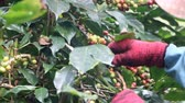 coffee cherries : coffee farmer harvesting coffee beans at the coffee farm Stock Footage