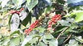 green coffee beans : Ripening coffee beans on a tree Stock Footage