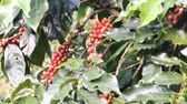 red coffee cherries : Ripening coffee beans on a tree Stock Footage
