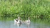 nibbling : Domestic geese swimming on a pond brood. Pets. bird. Stock Footage