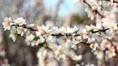 blossoming : Spring flowering of fruit trees