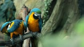 avian : Blue and yellow macaw resting