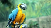 pet : Blue and yellow macaw resting