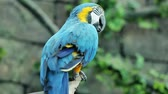 poleiro : Blue and yellow macaw resting